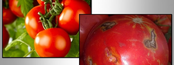 Unhealthy tomato in comparison to a healthy tomato.