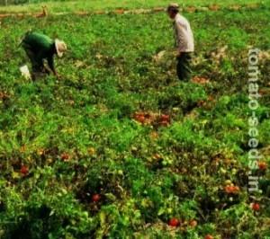 Tomato planting fields.