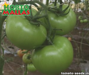 Green tomatoes hanging from tomato plant