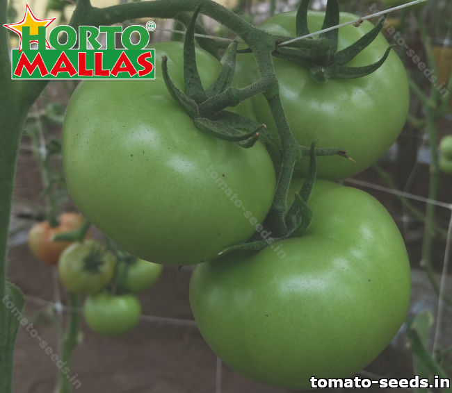 Build High-quality Plantation from Tomato Seed